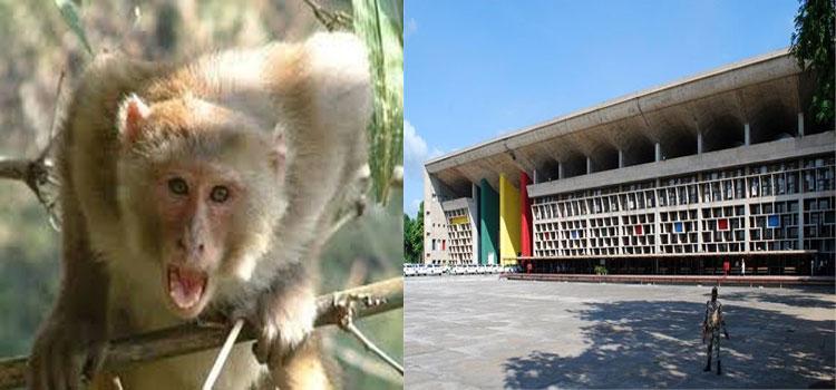 Chandigarh Monkey Attack