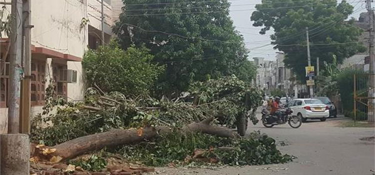Corporation Decide To Remove Unsafe Tree
